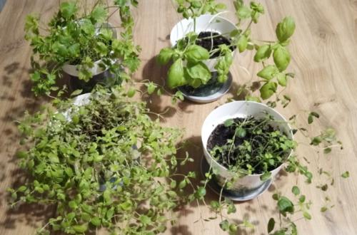 trzy miesiące doniczki z ziołami
