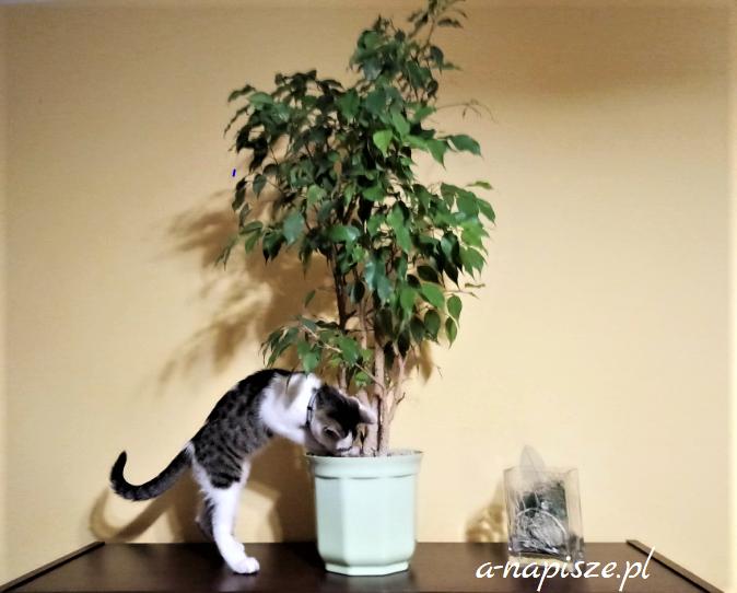 fikus trujący dla kota