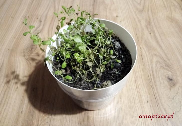 pleśń w doniczkach z ziołami