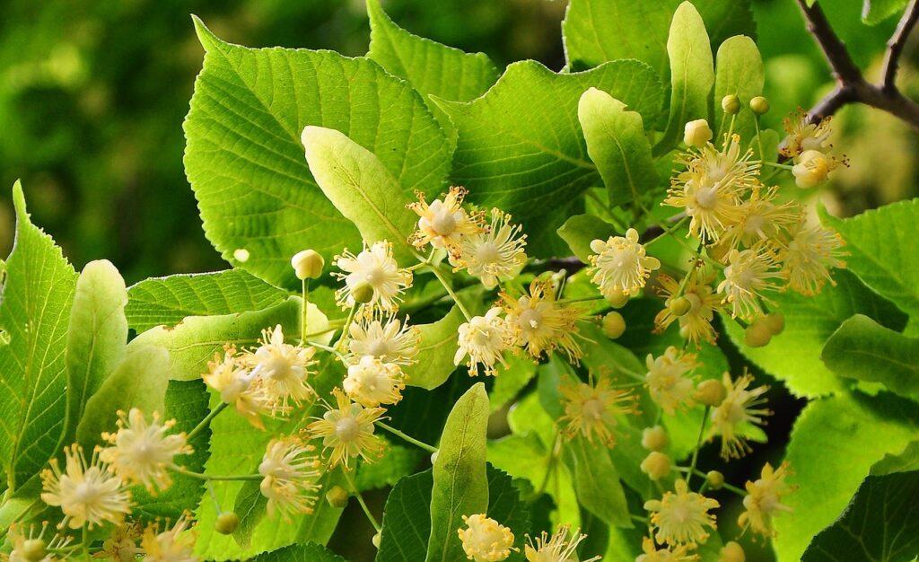 zioła na odporność lipa