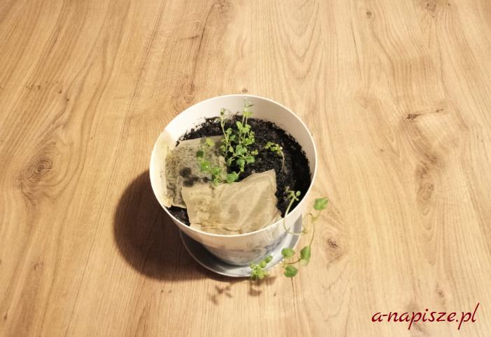 herbata ziołowa w doniczce