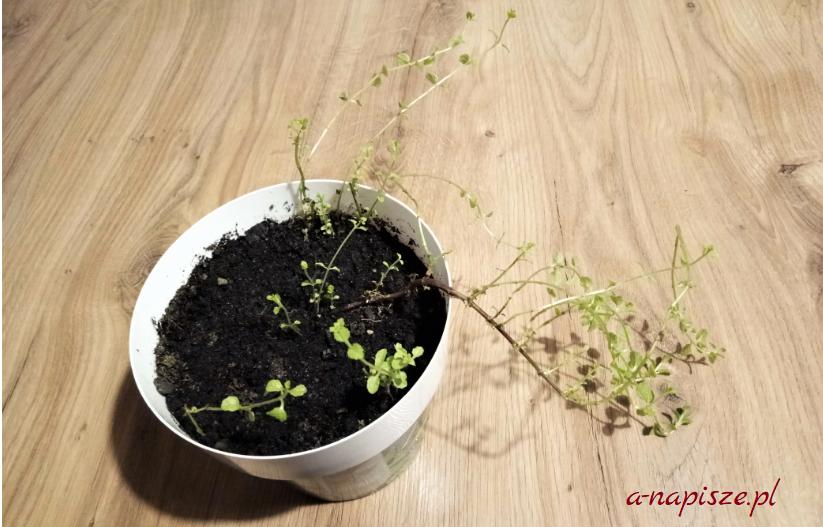 gałązki mięty drobne listki