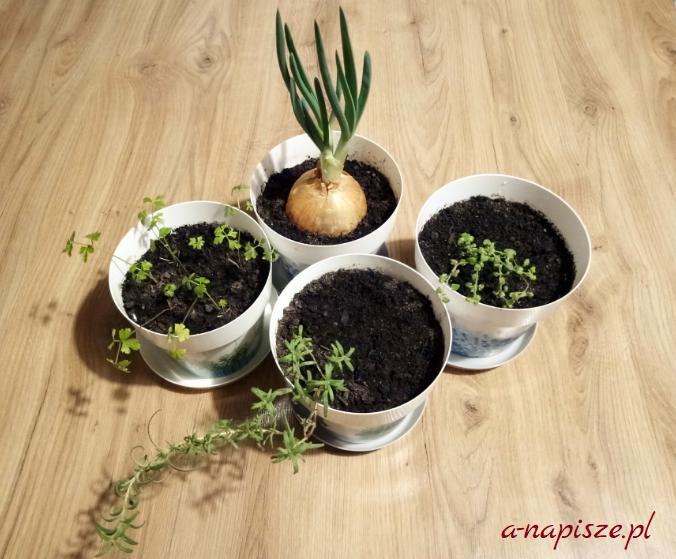 zimowy ogródek z ziołami
