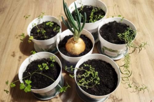 zioła zimowy ogródek