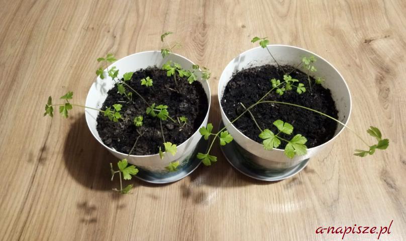 ziołowy ogródek pietruszka