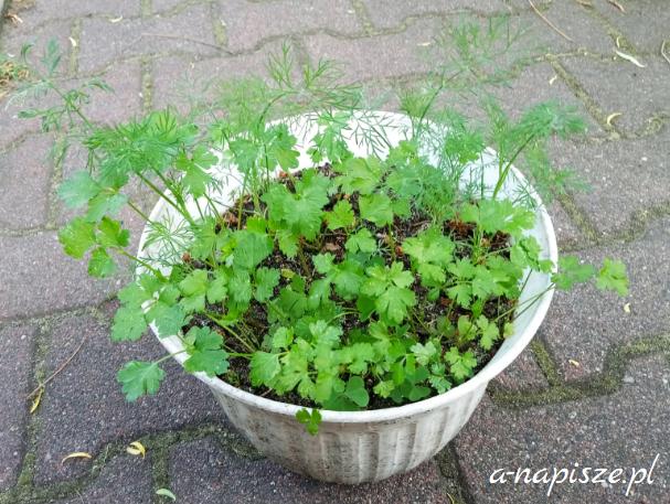 pietruszka i koperek lepiej rosną na dworze
