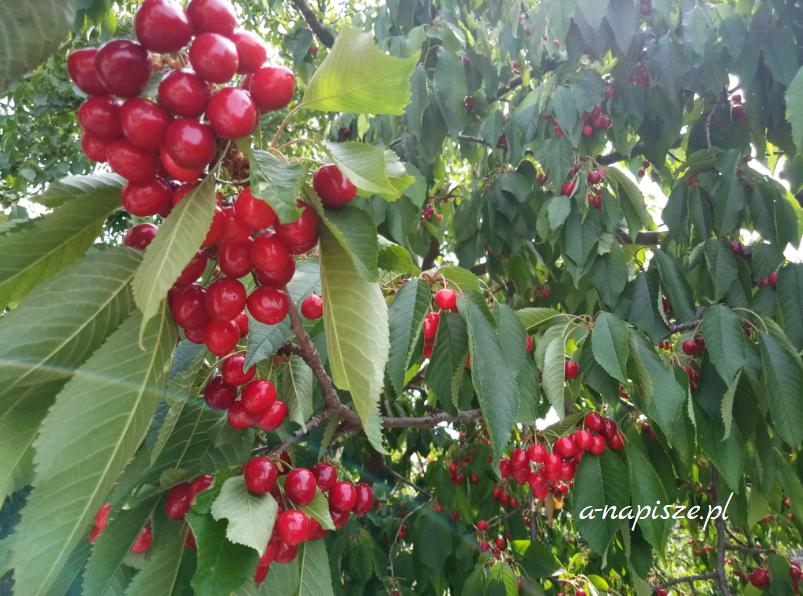 owoce a odchudzanie czereśnie