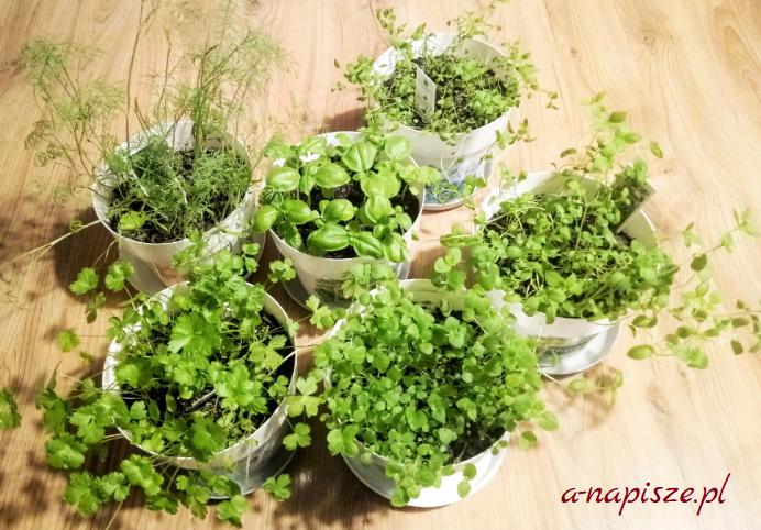 ziołowy ogródek w doniczkach w domu