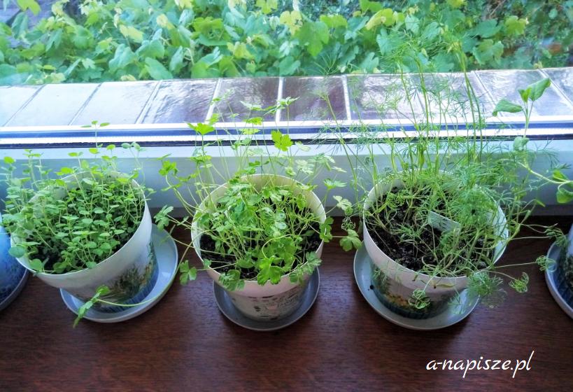 ziołowy ogródek w doniczkach na parapecie