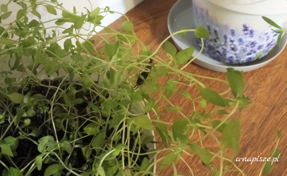 szczypawica to szkodnik i przyjaciel roślin