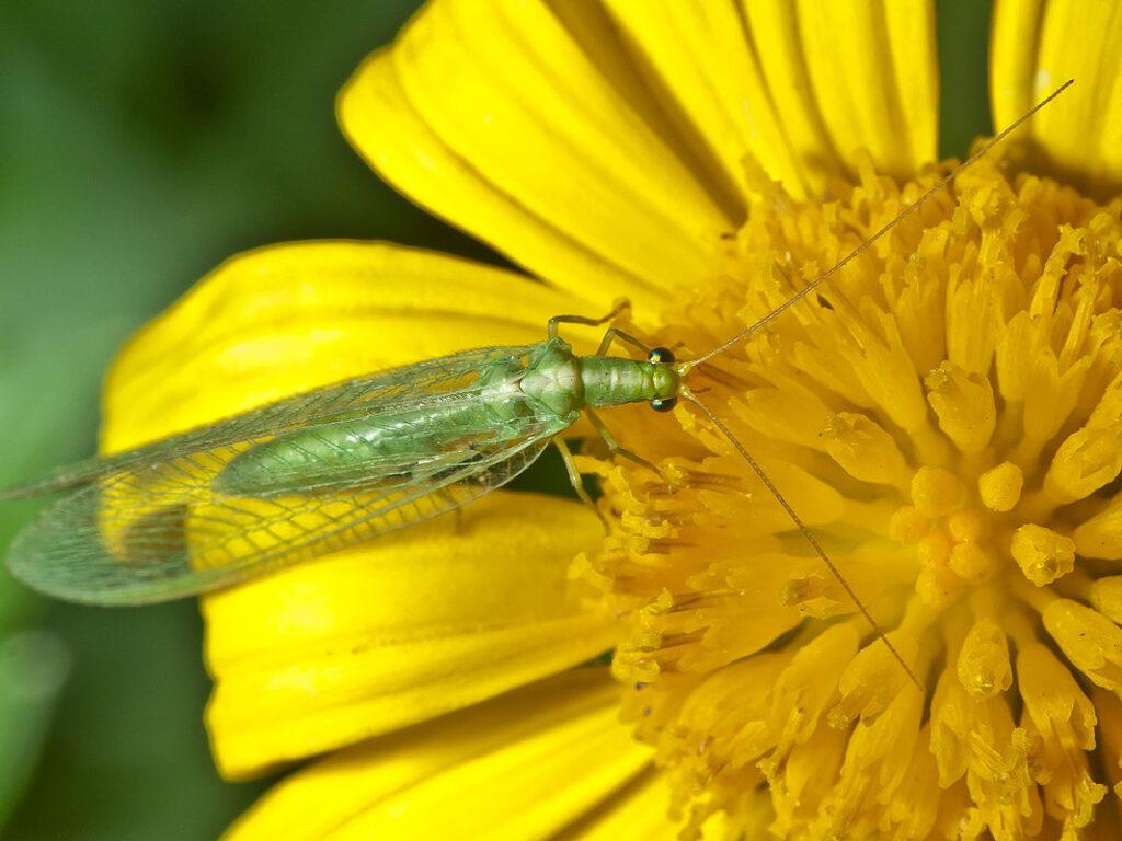 owady przyciąga kolor żółty