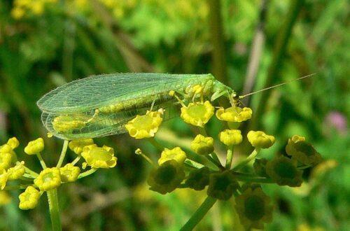 złotook pożyteczny drapieżny owad